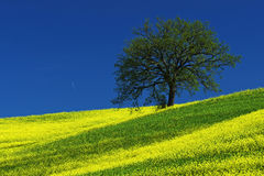 Tree on the yellow flower field with clear blue sky, Tuscany, Italy Royalty Free Stock Photo