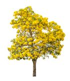 Tree with yellow flower isolated Stock Images