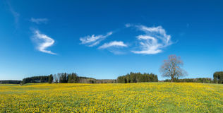 Tree on yellow flower meadow, blue sky and white clouds Royalty Free Stock Photos