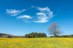 Tree on yellow flower meadow, blue sky and white clouds Royalty Free Stock Photo