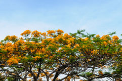 Tree with yellow flower and sky Royalty Free Stock Photo