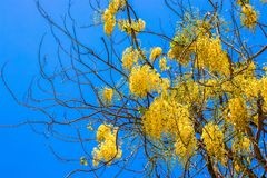 Tree with yellow flowers against the sky. A tree without leaves with long yellow hanging flowers against a blue sky. Blooms in spring stock photo