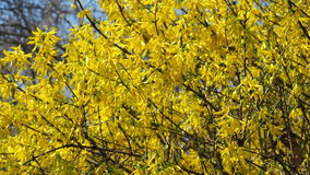 Tree with yellow flowers. Yellow flowers. Sunny spring day stock video footage