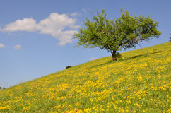 Tree on yellow hill. Apple tree in green and yellow mountain meadow during sunny summer day against blue sky with some white clouds Royalty Free Stock Photos