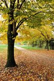 Tree with yellow leaves Royalty Free Stock Photo