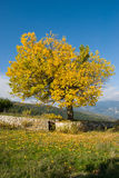 Tree with yellow leaves Stock Photos