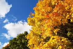 Tree with yellow leaves against the background of a blue sky with clouds. Yellow maple Stock Image