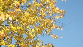 Tree with yellow leaves against blue sky stock footage