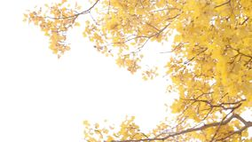 Tree in yellow leaves. Autumn day. Close up. Tree with beautiful yellow leaves, tree or shrub with thin twigs, growing on the tree leaves swaying in a gentle stock video