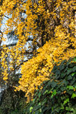 Tree with yellow leaves in autumn Royalty Free Stock Images