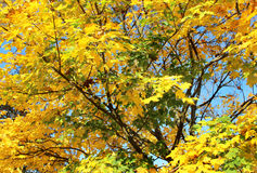 Tree with yellow leaves in the autumn park Stock Photo