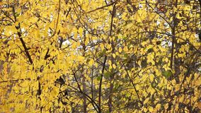 Tree  yellow leaves background. Tree with Yellow Leaves in Autumn background stock footage