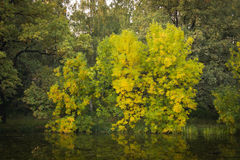 Tree with yellow leaves on the bank of pond Royalty Free Stock Photo