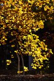 A tree with yellow leaves Royalty Free Stock Photography