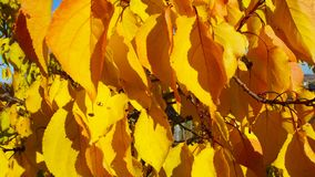 Tree with yellow leaves. Tree with yellow leaves on blue sky background stock photo