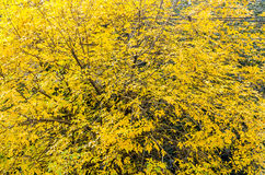 Tree with yellow leaves, detail, autumn time texture Royalty Free Stock Images