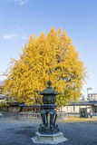 Tree with yellow leaves during Fall (Autumn) in the Nishi Hongan-ji temple in Kyoto, Japan Royalty Free Stock Images
