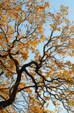 Tree with yellow leaves Stock Images