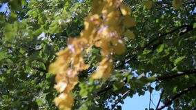 Tree with yellow leaves stock video footage