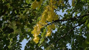 Tree with yellow leaves stock footage
