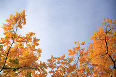 Tree with yellow leaves. In front of blue sky Stock Photos