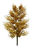 Tree with yellow leaves isolated on white background. Autumn foliage. Preparation of a tree for the designer. 3D Illustration. Tree with yellow leaves isolated royalty free stock photography