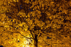 Tree with yellow leaves at night Royalty Free Stock Image