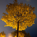 Tree with yellow leaves at night Royalty Free Stock Photo