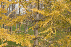 Tree with yellow leaves. In a rural area Stock Image