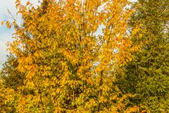A tree with yellow leaves and a spruce tree in fall royalty free stock photography