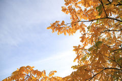 Tree with yellow leaves. On a sunny autumn day Royalty Free Stock Image