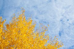Tree with yellow leaves. At sunny day with sky on background royalty free stock image