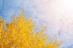 Tree with yellow leaves. At sunny day with sky on background stock photos