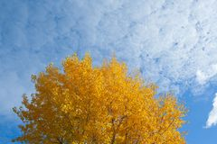 Tree with yellow leaves. At sunny day with sky on background stock photography