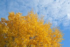 Tree with yellow leaves. At sunny day with sky on background royalty free stock photo