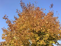 Tree with yellow leaves stock photography