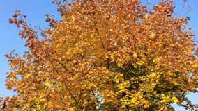 Tree with yellow leaves. Against a clear blue sky Royalty Free Stock Image
