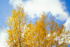 Tree with yellow leaves. At sunny day wuth sky on background stock images