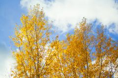 Tree with yellow leaves. At sunny day wuth sky on background royalty free stock photo