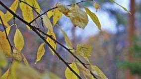 Tree with yellow leaves under rain autumn fall stock footage