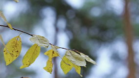 Tree with yellow leaves under rain autumn fall. Forest stock video footage