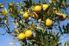 Tree with yellow lemons Stock Photography
