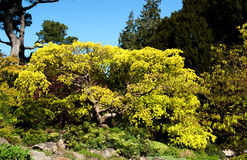 Tree with yellow liaves in the garden Royalty Free Stock Photo