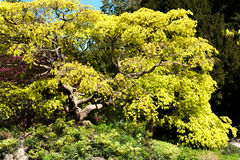 Tree with yellow liaves in the garden Royalty Free Stock Photos