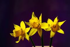 Tree yellow Narcissus against a dark background royalty free stock images