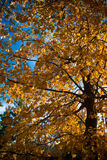 Tree with yellow and orange fall leaves with sky background Stock Photo