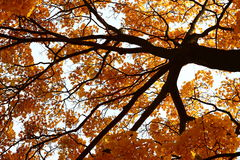 A tree with yellow and orange leaves seen from underneath. An autumn tree royalty free stock photography