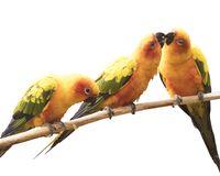 Three parrots isolated on white background. Three yellow parrots playing with each other on a branch, isolated on white background stock image