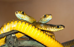 Tree yellow  snakes from India Stock Image