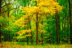 Tree with yellowing leaves in the forest Stock Photos